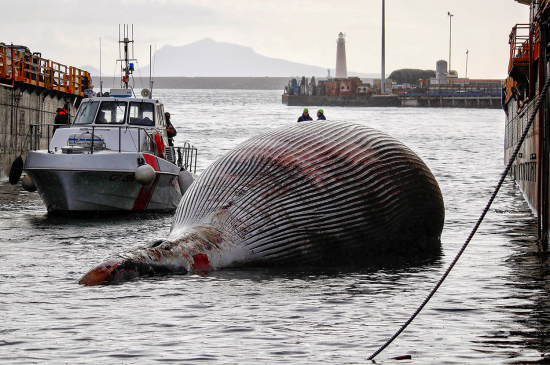 italy whale carcass