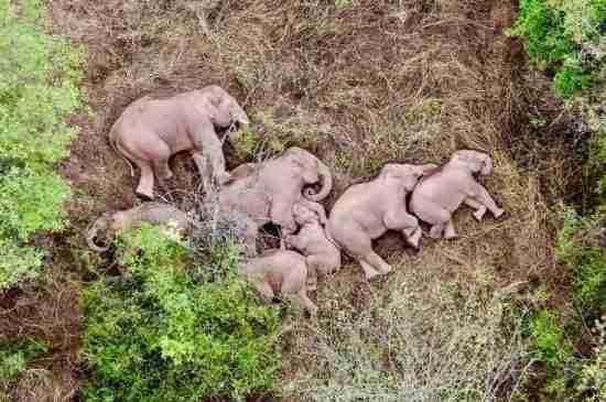 china wild elephants nap rest yunnan thumbnail