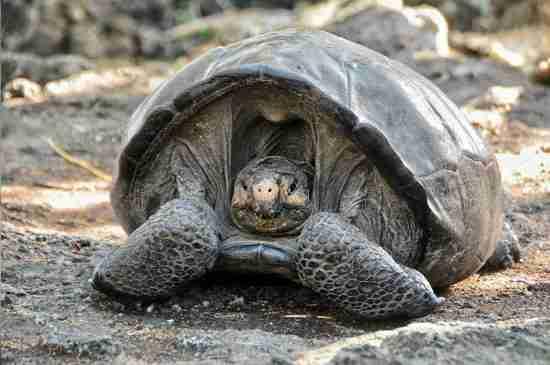 galapagos extinct tortoise found