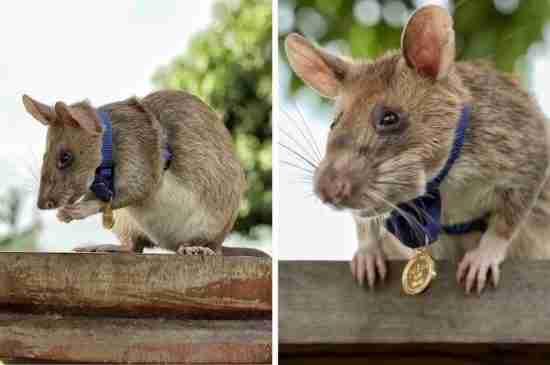 magawa hero rat demining cambodia