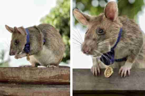 This Heroic Rat Was Awarded A Gold Medal For Sniffing Out 71 Miles In Cambodia And Saving Lives