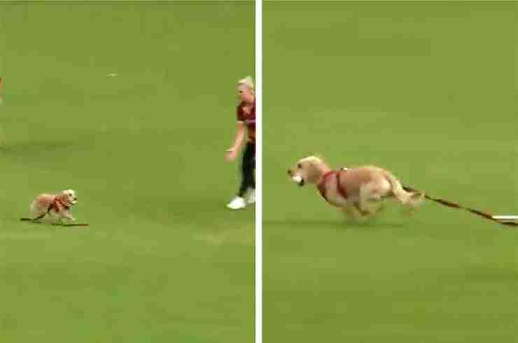 dog interrupts cricket northern ireland