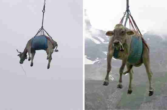swiss cows airlifted alps