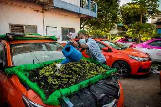 thai taxis vegetable garden covid