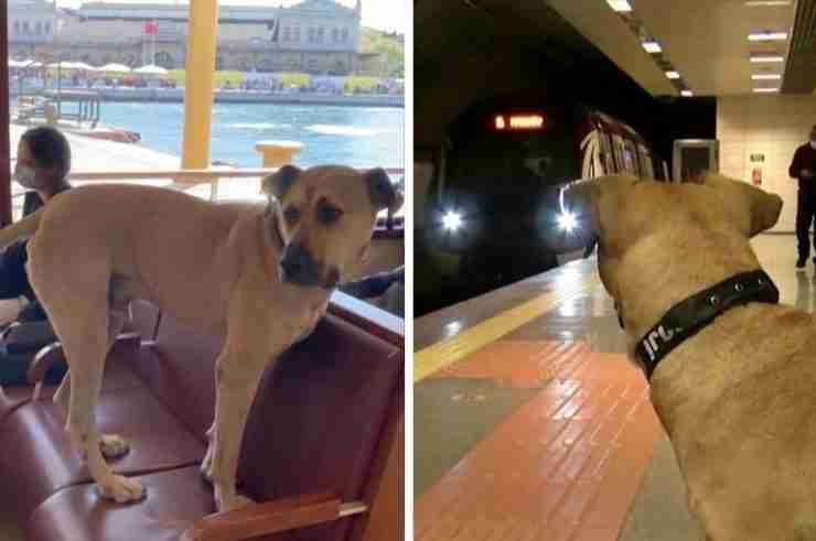 boji stray dog istanbul public transportation turkey